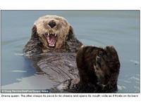 啊!!!海獺摀耳朵、張大嘴「吶喊」上身