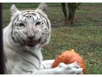 慶祝萬聖節!大貓與南瓜同樂 邊吃邊傻笑