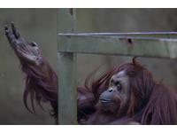 紅毛猩猩洛基與人溝通 模仿500多種類似英文母音