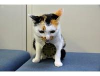 日本岡山貓站長「玉玉」 被「站長媽媽」收養才能長大