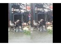 台東豪雨! 無助狗狗被栓柵欄外..踩廢棄物上躲淹水