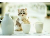 「傲嬌」貓咪超愛打翻東西? 不是惡作劇只是怕被你忽略