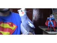 宅鸚鵡「波克比」 口哨吹出瑪莉歐主題曲