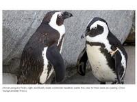 分手3天就和母的嘿咻 同性戀公企鵝玩完了!