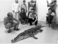 「以為是大魚」江蘇村民捕到暹羅鱷 嘴巴還被膠帶封住