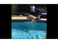 黃金獵犬跑太嗨腳滑 踩空「撲通」進泳池憨笑裝沒事