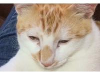 橘貓把主人襪子當毒品 享用完的滿足表情像「成仙」