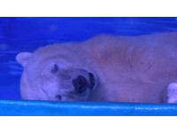 「最悲傷北極熊」回家了? 館方堅持:整修完就接回來