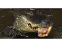 396公分鱷魚披薩吃太多? 後院太小住不下要放生啦!