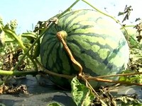 聰明切西瓜法:順著花紋剖能完美剔除西瓜籽