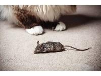 貓咪真的會報恩! 送「驚嚇」禮物給你...是怕你餓死啦