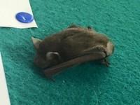 全球首例!台南蝙蝠驗出「新型麗沙病毒」 基因似狂犬病
