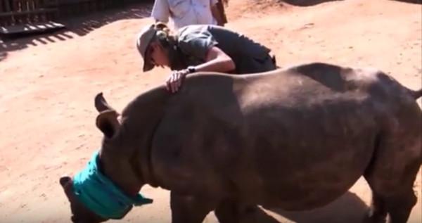 南非白犀牛切角險喪命! 4管理員搶救成功   文章內置圖片