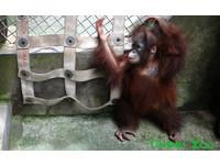 人猿寶寶「乙森」不會回家 保育員搭橋、造樓梯教牠