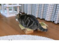 肥屁屁在外面硬是要塞... 為何貓咪是「紙箱」狂熱份子?