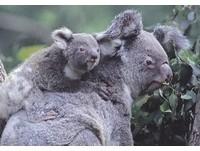 4隻澳洲無尾熊 將加入北市動物園