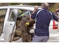 太飢餓! 南非狒狒兇悍偷餅乾