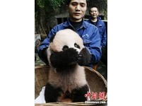 第一次見客 重慶貓熊寶寶害羞捂臉