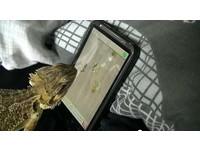 鬃獅蜥大展「舌功」 玩智慧手機