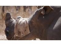 辛巴威幫700頭犀牛鋸掉角 保育組織:盜獵者就不來了
