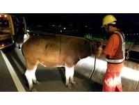 慢速水牛上高速公路 警車包夾護送下交流道開罰