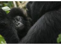 大猩猩瀕危「只差一步就絕種」 貓熊保育成功升級易危