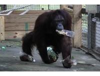 人猿超愛裝食物寶特瓶!一次拿4個 還吐水做成蜂蜜水