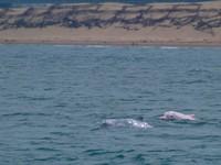 需離白海豚1000m以上!環保署通過「離岸風電開發」環評