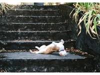 波特蘭貓咪頭癢「拱背」抓抓 網笑噴:牠要變殭屍了嗎