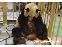 日本70歲高齡貓熊了得! 生下熊貓寶寶...成16口大家庭