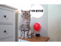 這到底是什麼鬼東西啦?!貓咪vs.氣球爆笑反應特輯