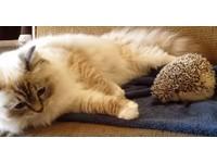 傻貓初見小刺蝟想示好 好奇坐上「屁股開花」立馬彈開
