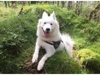 挪威靈氣薩摩耶彷彿森林系公主 飼主:牠們完整我的生命