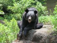 7歲台灣黑熊「黑糖」有新朋友! 在「大別墅」練武功