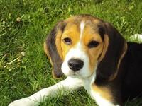 被訓練成信任人類... 揭露「實驗犬」背後10個殘酷事實
