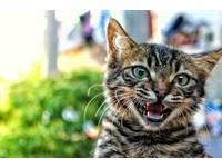 嘴巴開開卻沒聲音! 貓咪「無聲喵喵叫」5大傲嬌原因