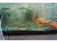 成大創新微藻飼料養蝦 頭好壯壯