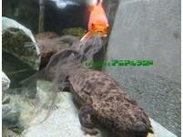 小金魚3年半怎麼過來的? 搏命吸山椒魚皮畫面曝光!