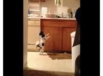 吉娃娃想吃火雞肉 在流理台邊扭屁股跳「草裙舞」