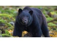 江西受傷黑熊闖村民家偷吃蜂蜜 被送動物園療養3個月
