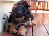 德國狼犬都超兇猛? 才怪呢,這隻不兇而且超「萌」!