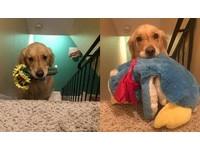 沒有玩具睡不著!黃金獵犬每天都要選一個「侍寢」