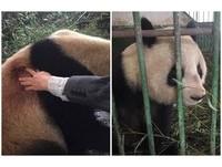 吃飯沒坐好!大貓熊「蜀蘭」躺著咬竹子...不小心刺到背