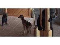 人家害羞啦!小熊和小鹿初次見面 躲在柱子後偷觀察