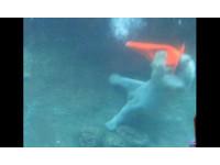 北極熊招惹安全錐 跌入池喊:上帝在我眼前遮住了簾?