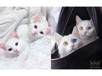 美哭網友!讓人難以移開視線的「陰陽眼」雙胞胎貓咪