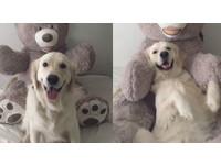 黃金獵犬Watson是信任遊戲王! 討熊抱抱瞬間療癒破表