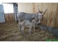 動物園非洲野驢寶寶誕生! 長長睫毛大大耳朵萌死人啦~
