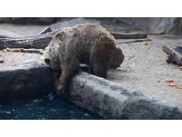 大灰熊救援?「一把撈起」落水烏鴉 再淡定回去吃紅蘿蔔