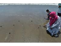 印尼「25元放生海龜」 讓遊客親手將幼龜野送回大海
